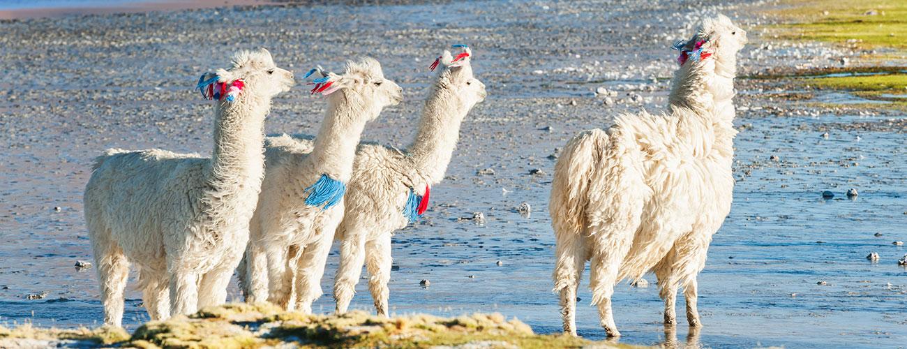 Alpaca and Lama